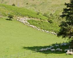 Gathering Sheep off the hill